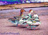 duck duck duck WM