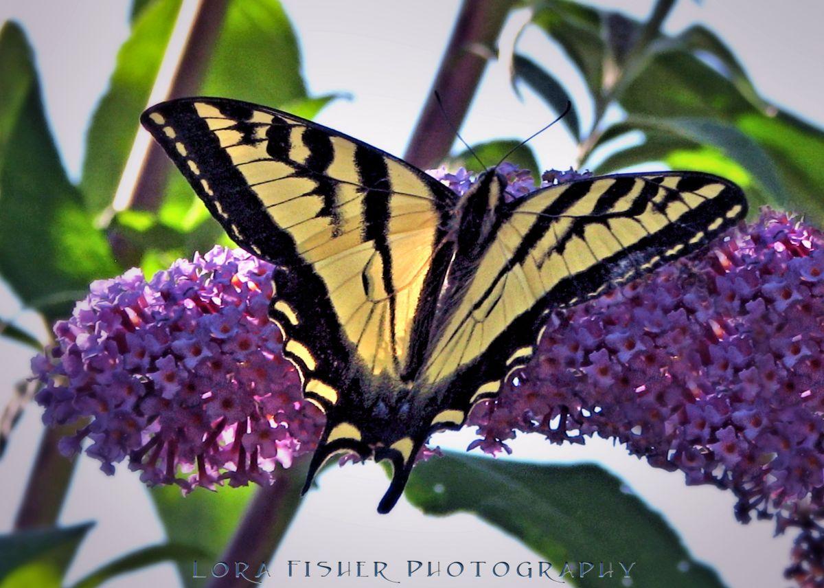 I Butterfly WM