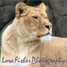 Lioness WM 1