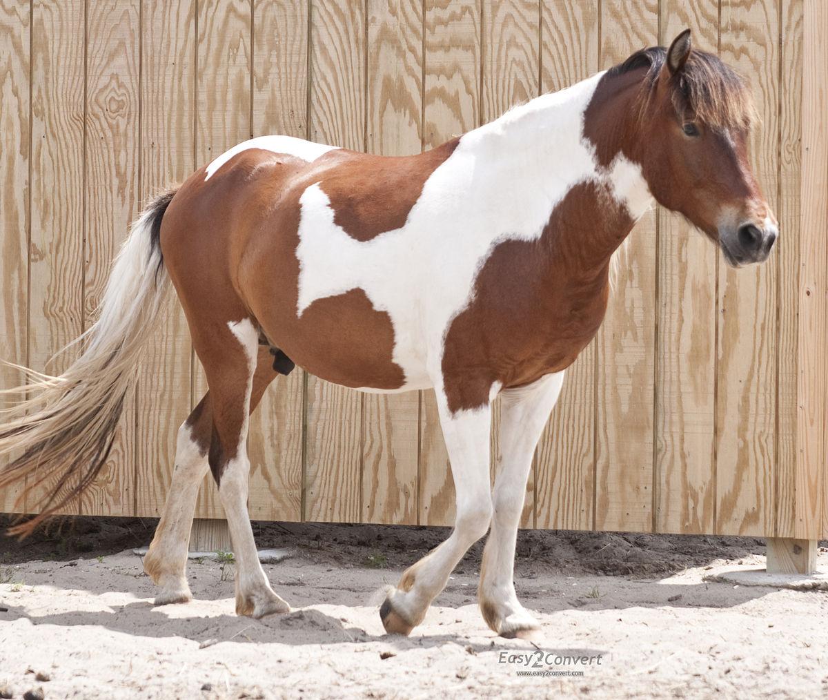 Horse_at_Ocracoke_Pony_Pen_by_Bonnie_Gruenberg